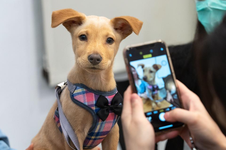 Taiwan Dogs, Dog, Taiwan, Adoption
