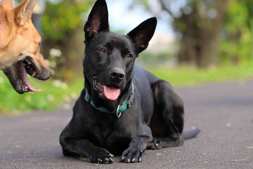 Taiwan Dogs, Dog, The Black Dog, Taiwan, Pet