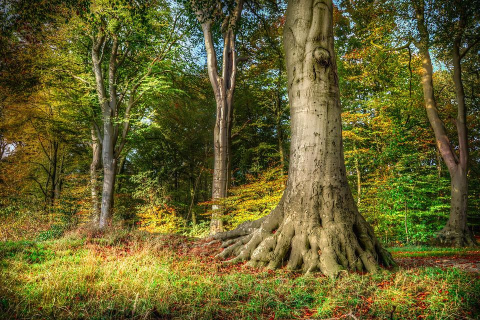 Tree, Root, Beech, Hdr, Nature, Forest, Wood, Tall