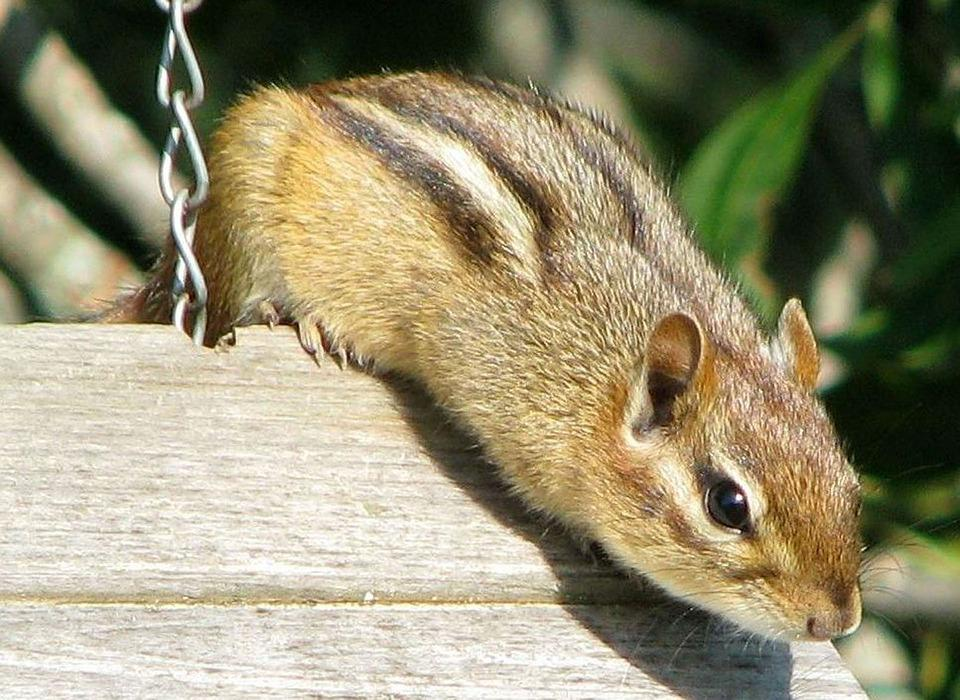 Eastern Chipmunk, Tamias Striatus, Bird Feeder, Thief