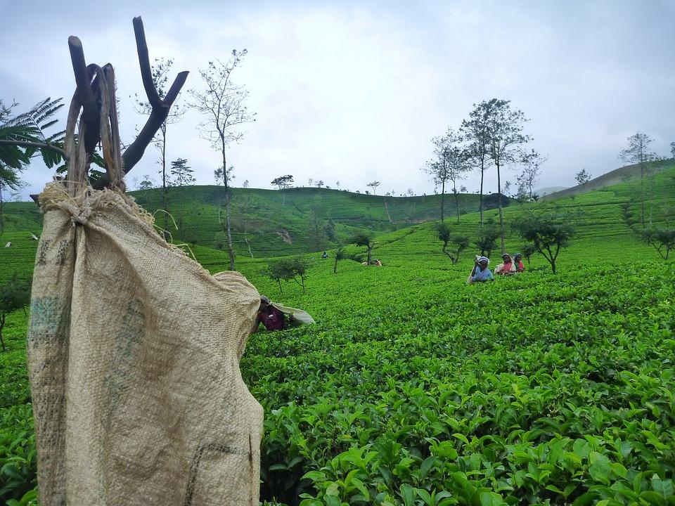 Sri Lanka, Ceylon, Tea, Fields, Tamils