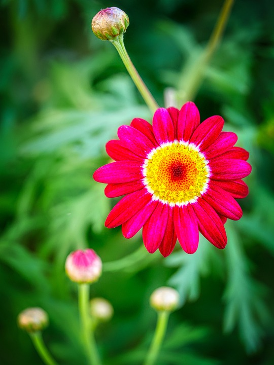 Feverfew, Flower, Plant, Petals, Red Flower, Tanacetum