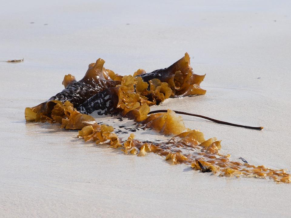 Tang, Sea, Beach, Coast, Flotsam