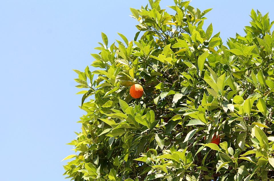 Tangerine, Mandarins, Fruit Trees, Southern Plants
