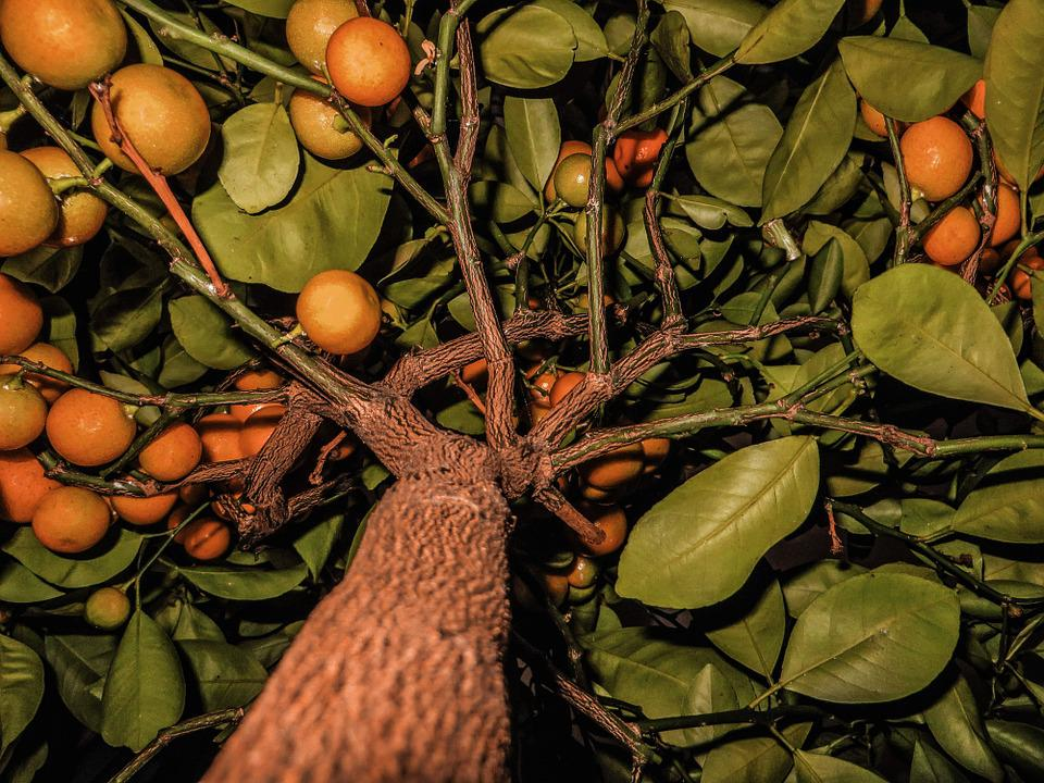 Fruit, Fruits, Tangerines, Tree, Citrus Fruits, Orange