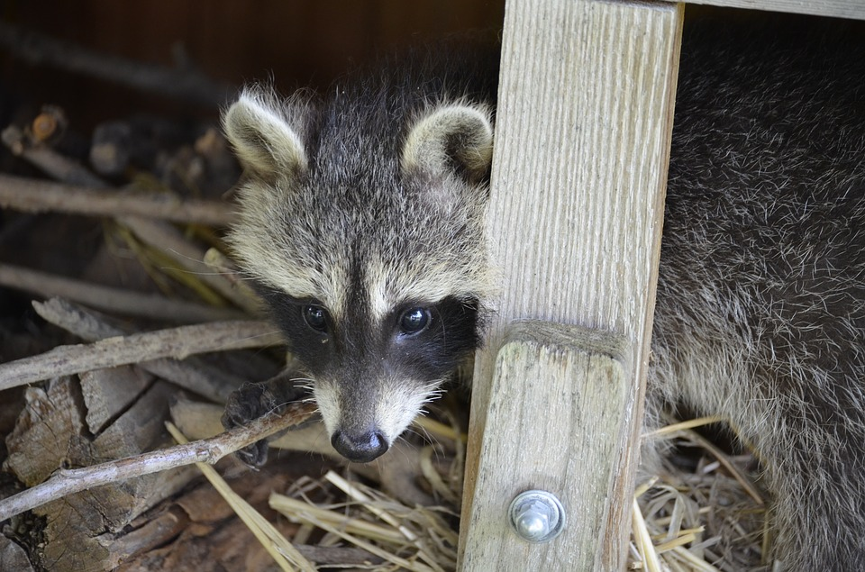 Raccoon, Face, Sweet, Furry, Eyes, Tank Buster