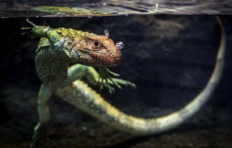 Caiman Lizard, Lizard, Reptile, Animal, Tank, Pet