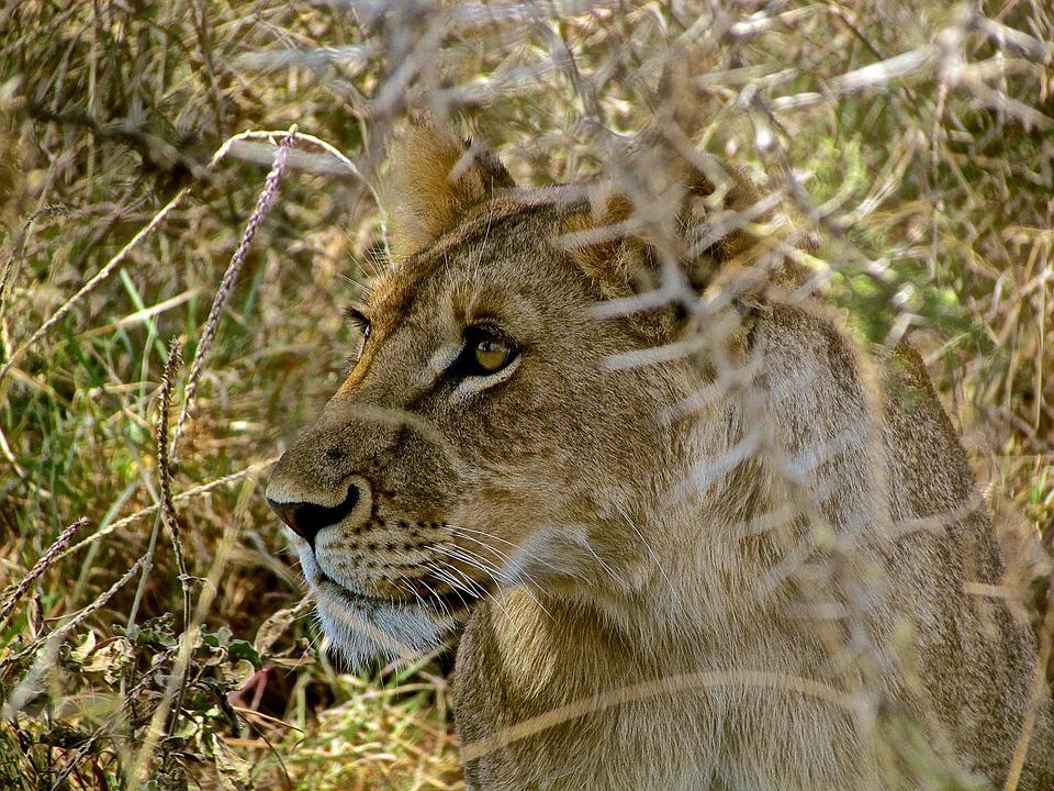 Lioness, Safari, Tanzania, Africa, Nature, Predator