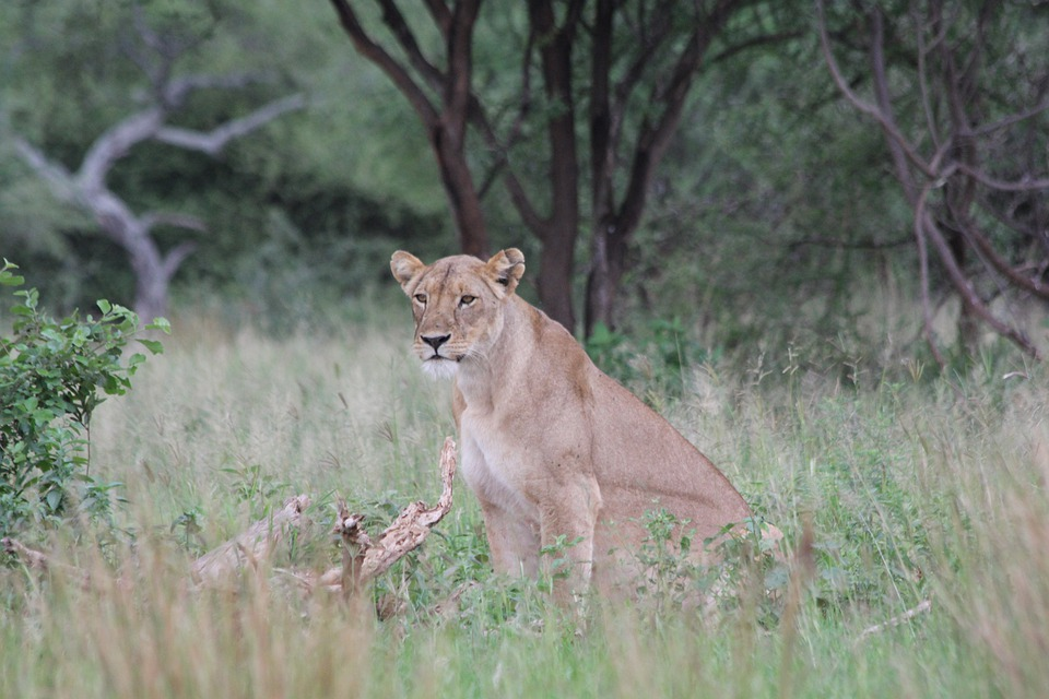 Lion, Lioness, Africa, Tanzania, Tarangire, Wild Animal