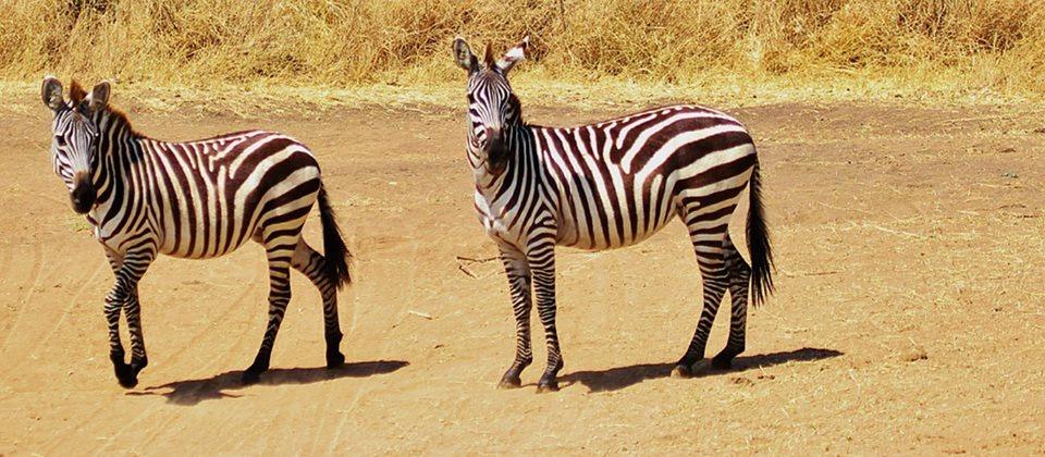 Zebra Safari Tanzania Animal Baby Zebra Funny