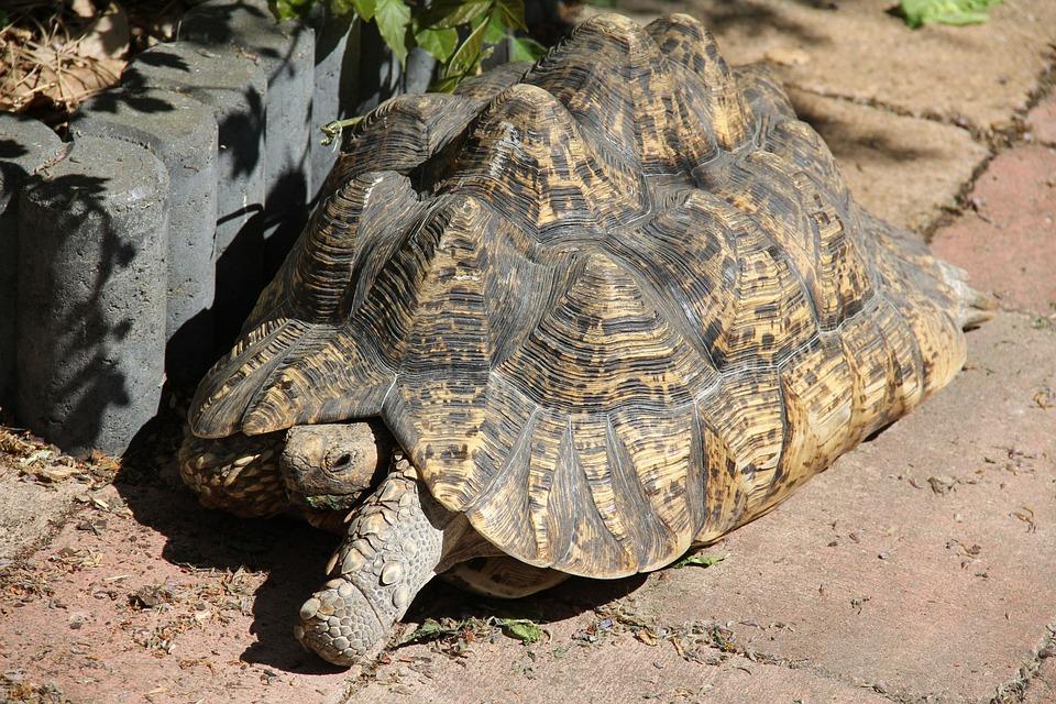 Tanzanian Leopard Tortoise, Tropical Land Turtle