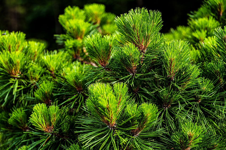 Pine, Tree, Grove, Needles, Log, Evergreen, Tap