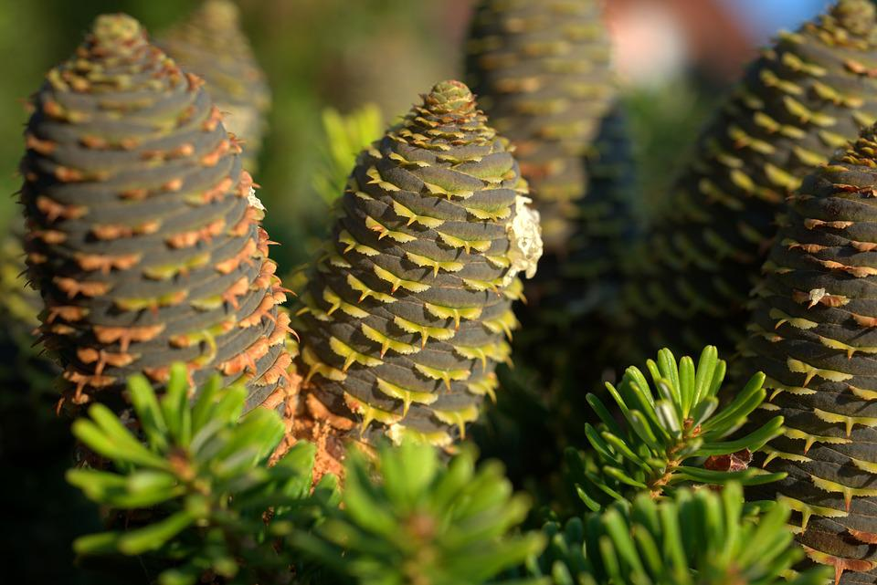 Pine Cones, Fir Tree, Tree, Nature, Tap, Forest