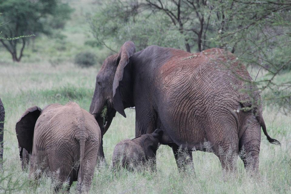 Africa, Tanzania, Tarangire, Elephant, Wild Animal