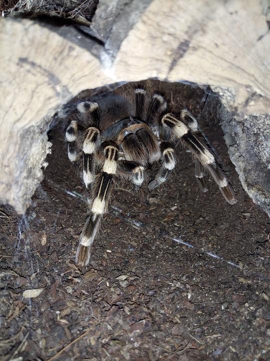 Nature, Animal, Animal World, Tarantula