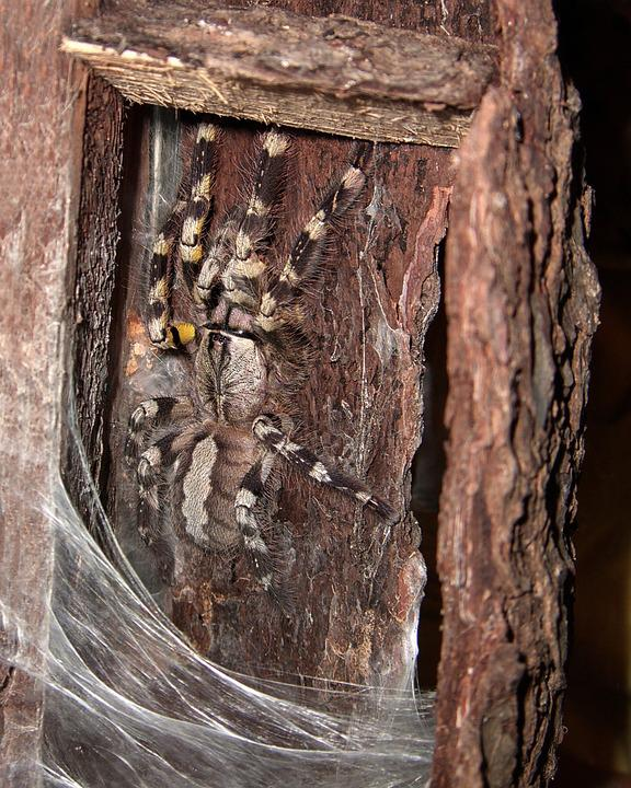 Tarantula, Spider, Arachnids, Camouflage