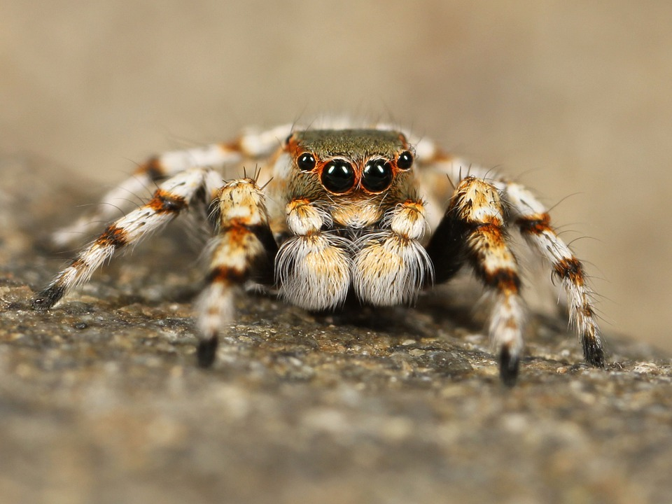 Jumping Spider, Tarantula, Bird Spider, Insect