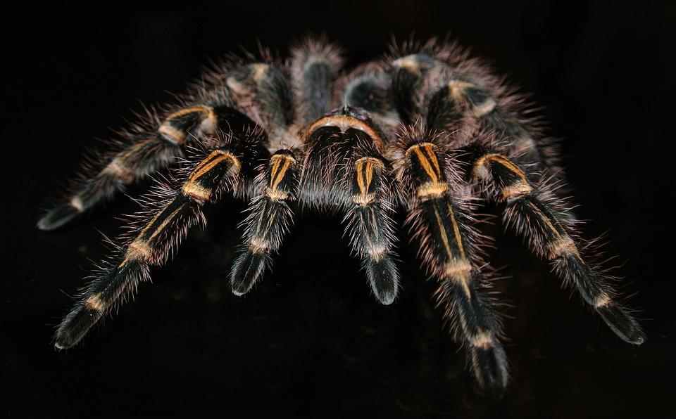 Tarantula, Spider, Insect, Grammostola, Pulchripes