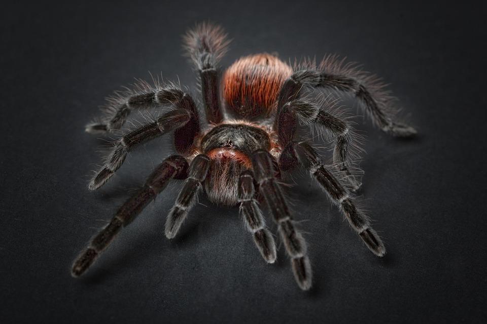 Spider, Tarantula, Arachnophobia, Insect, Hairy, Macro