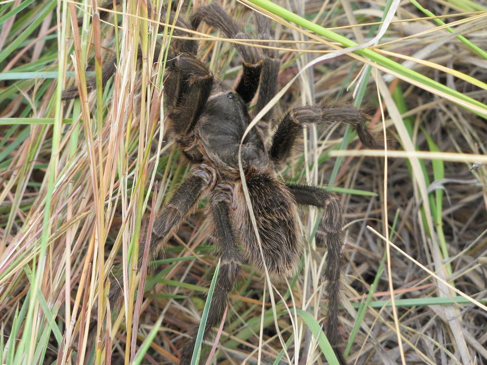 Nature, Spider, Animal, Tarantula