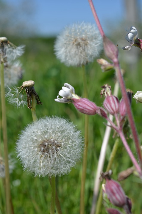 Dandelion, Taraxacum Officinale, Meadow, Summer