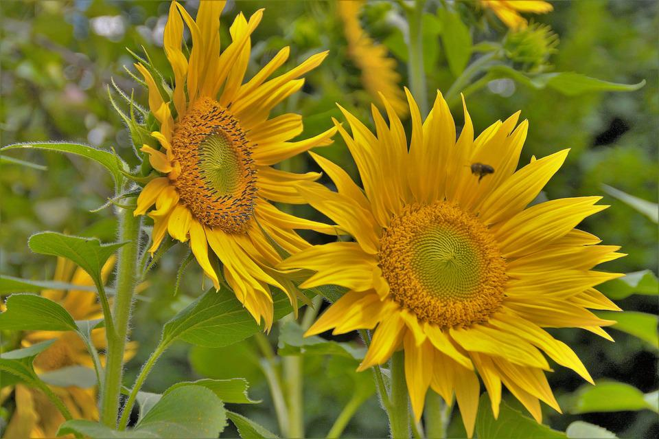 Sunflower, Yellow, The Shining, Flower, Summer, Target