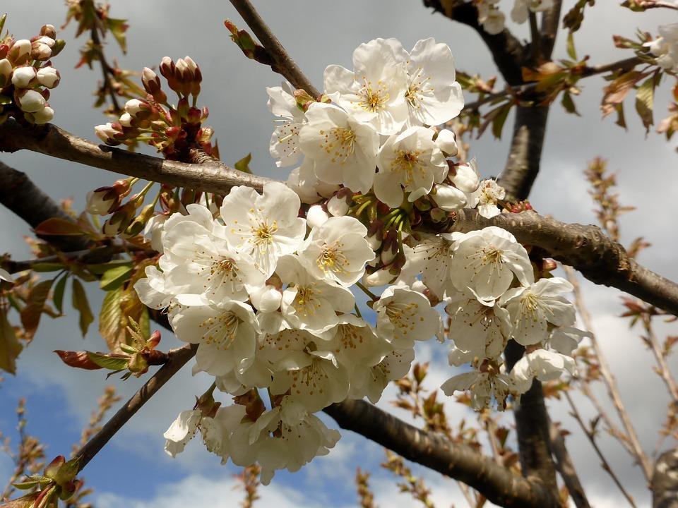 Tasmania, Australia, Flowers, Spring, Nature, Blossom