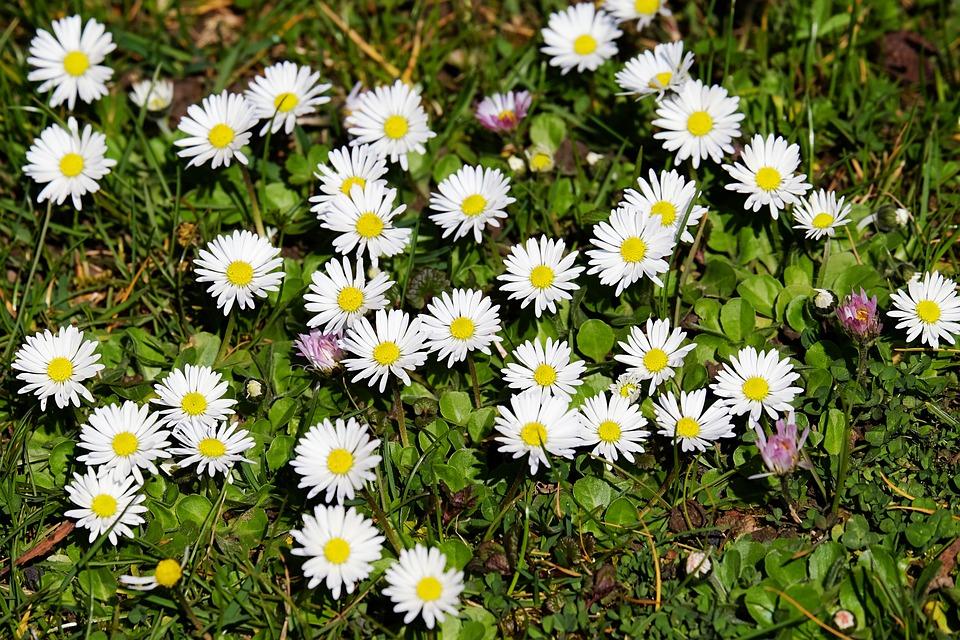 Daisy, Bellis, Tausendschön, Bloom, Spring, Flowers