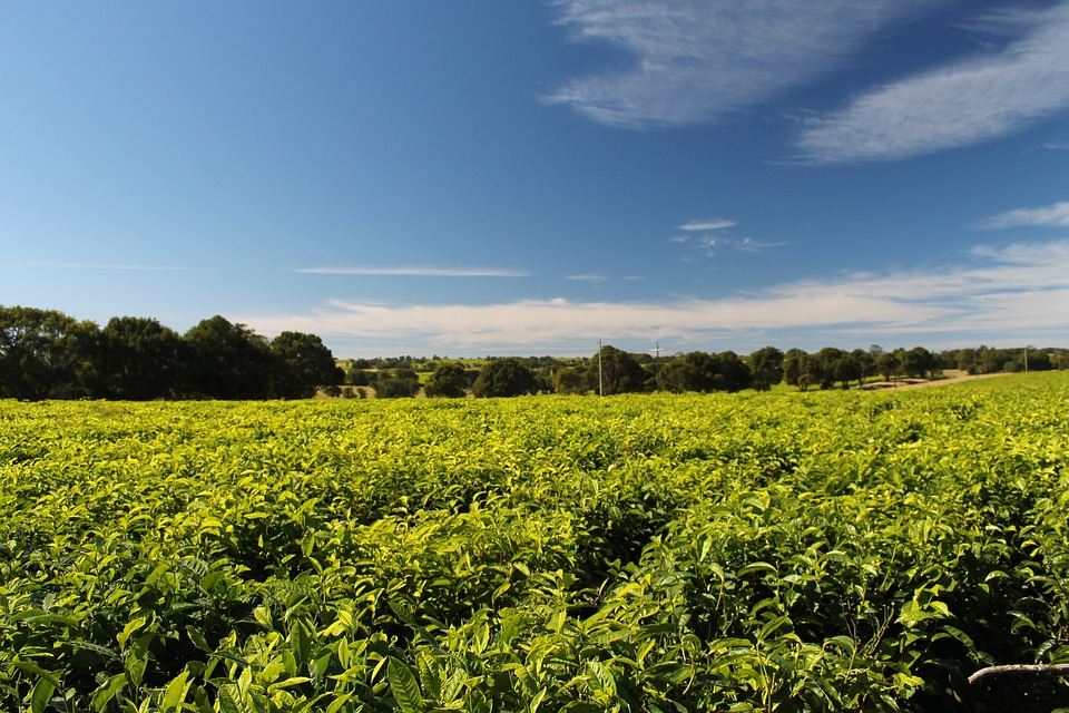 Tea, Plantation, South Africa, Field, Agriculture