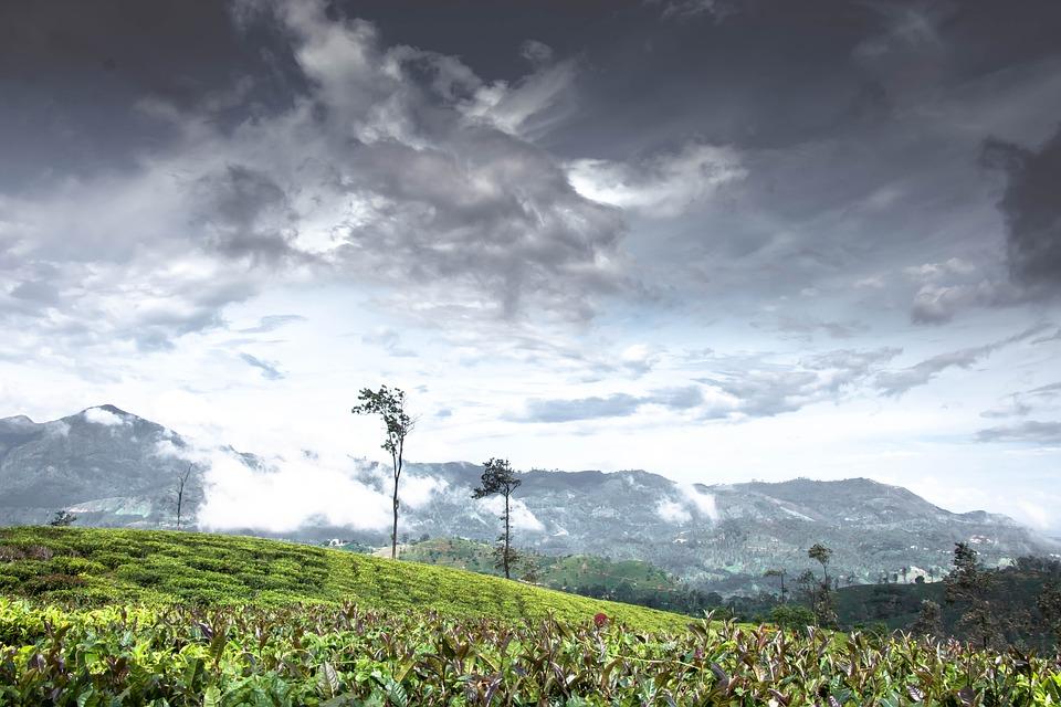 Tree, Alone, Tea Estate, Tea Plantation, Lonely, Sky