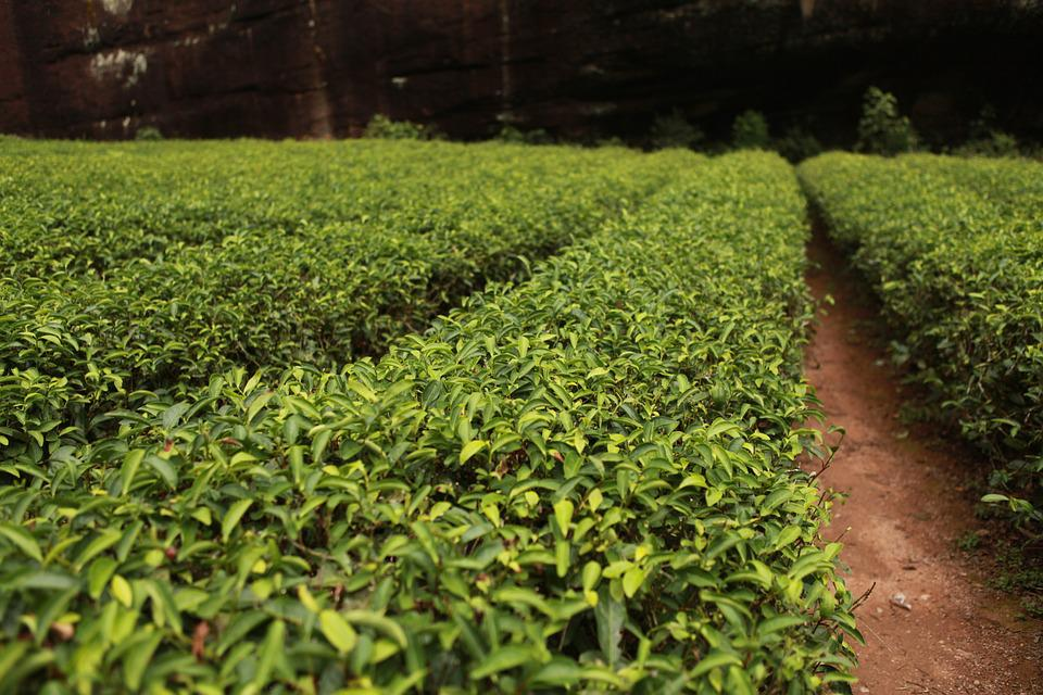 Tea Garden, Tea Tree, Tea, Plant, Green