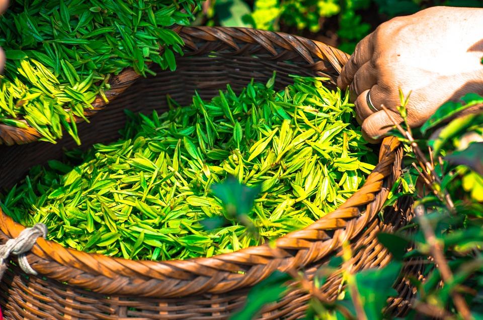Выращивание зелёный чай 87