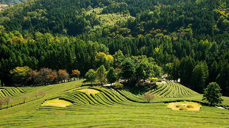 Greenery, Landscape, Tea, Tea Garden, Nature, Outdoor