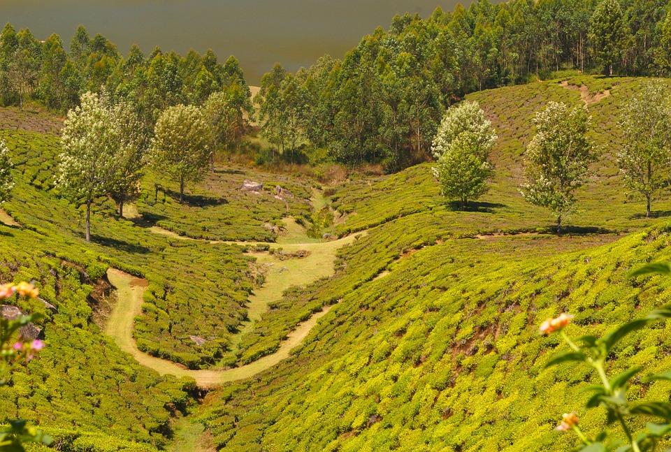 Tea Plantation, Mountain, Agriculture, Leaves, Field