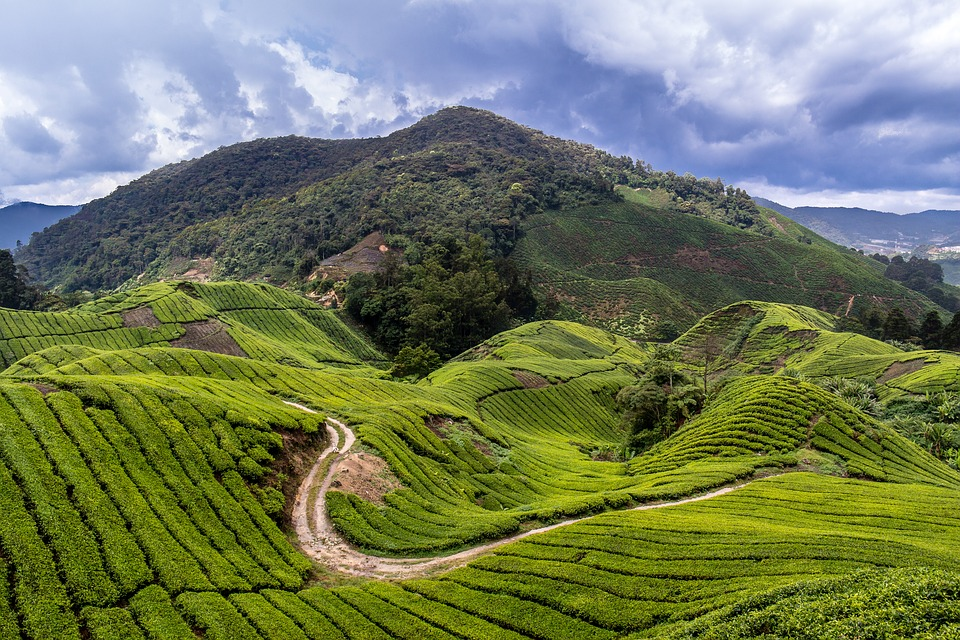 Malaysia, Tea Plantation, Travel, Cameron Highlands