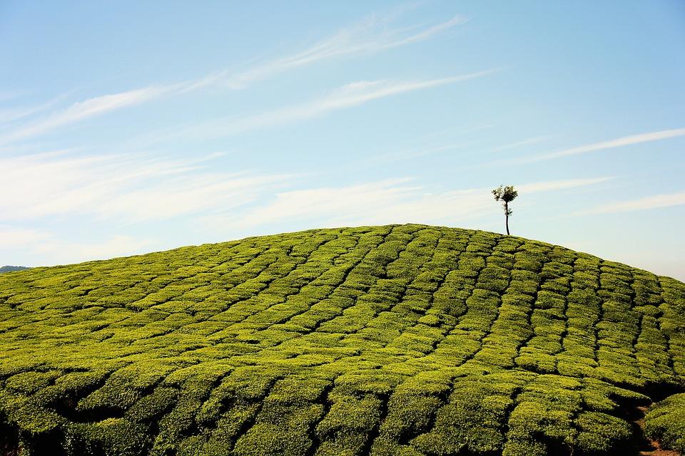 Tea Plantation, Farm, Plantation, Field, Grass, Hill