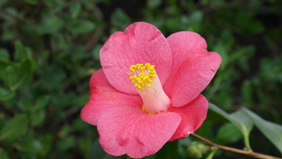 Camellia, Camellia Japonica, Tea Tree Plant
