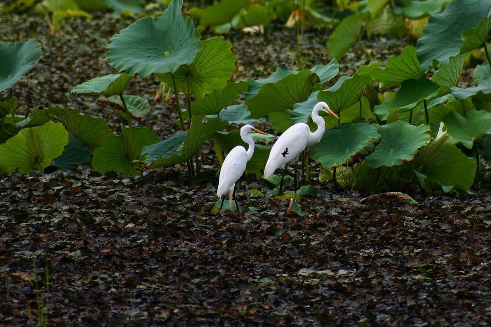 Animal, Pond, Lotus, Wild Birds, Heron, Team Rabbit
