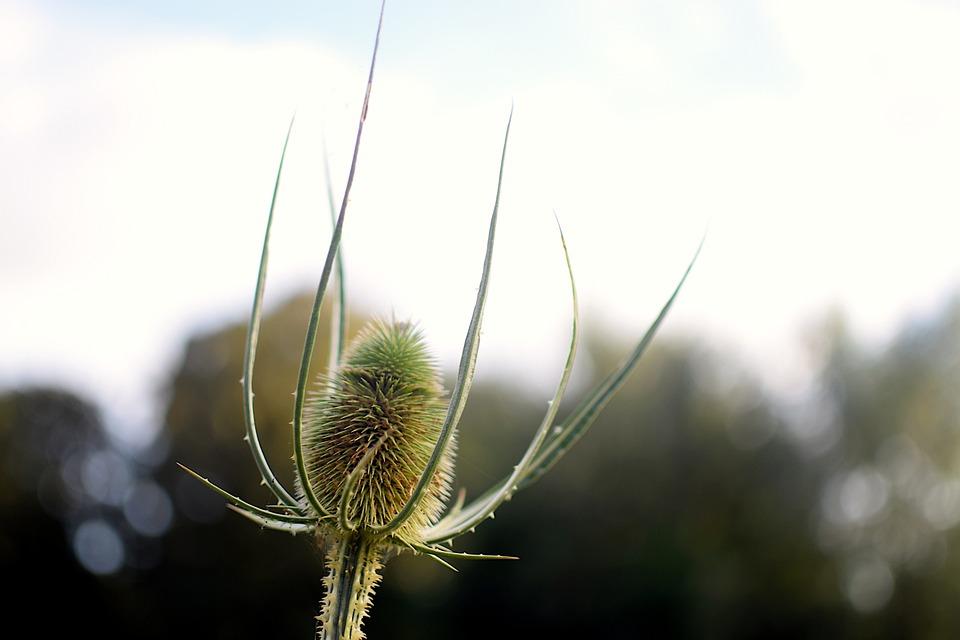 Teasel, Flower, Seed Head, Plant, Prickly