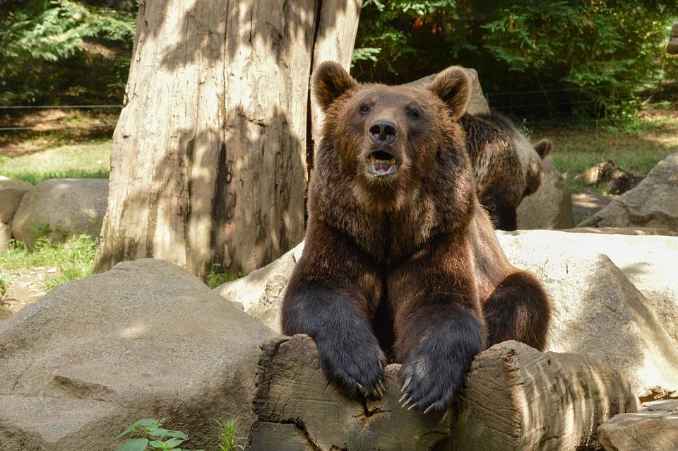 Bear, Animal, Nature, Mammal, Wildlife, Fur, Teddy