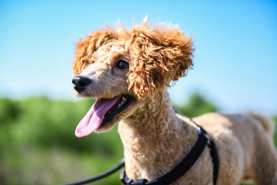 Pets, Teddy, Puppy, Walking The Dog, Animal