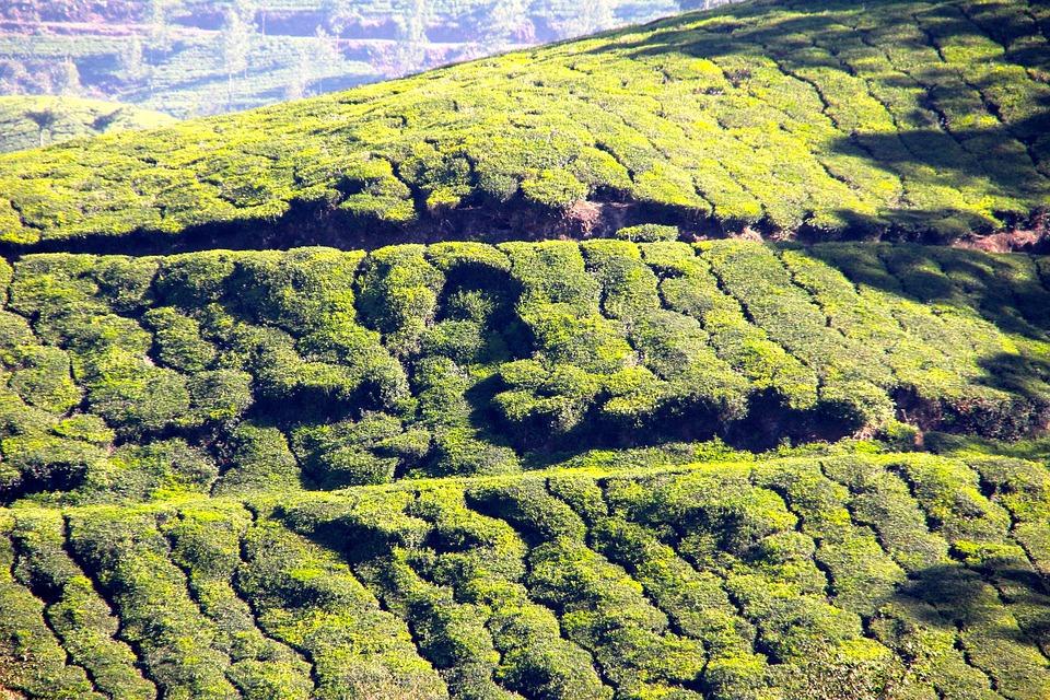 Tee, Plantation, Tea Plantation, India