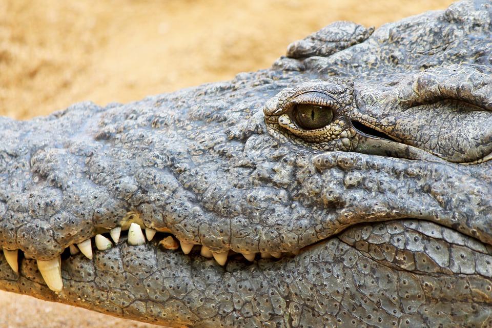 Crocodile, Cayman, Reptile, Teeth