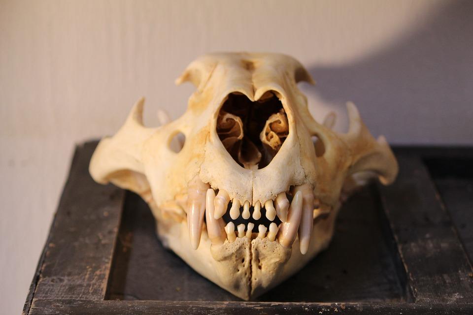 Skull, Skeleton, Lion, Teeth, Bones