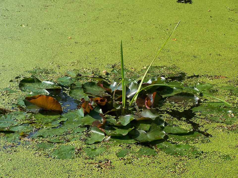 Duckweed, Pond, Green, Nature, Water, Teichplanze