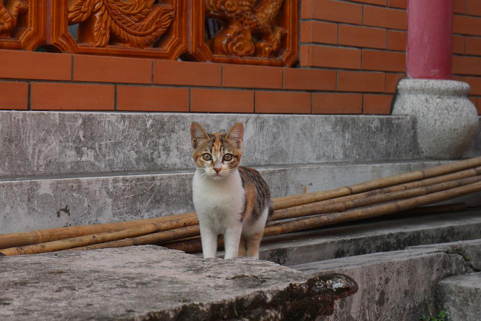 Animal, Cats, Temple, Losing His Home, Pets