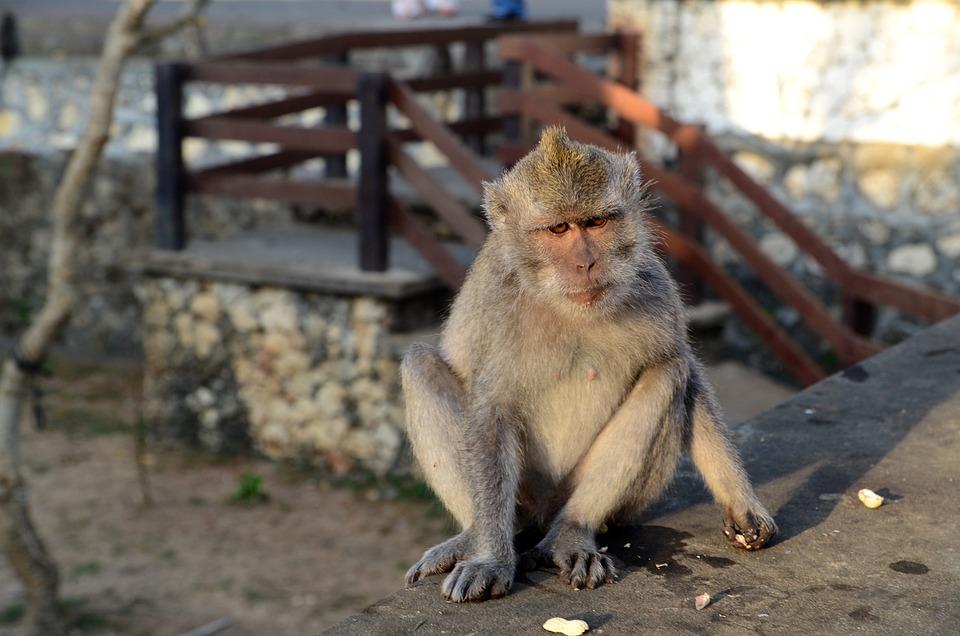Monkey, Bali, Indonesia, Wildlife, Temple