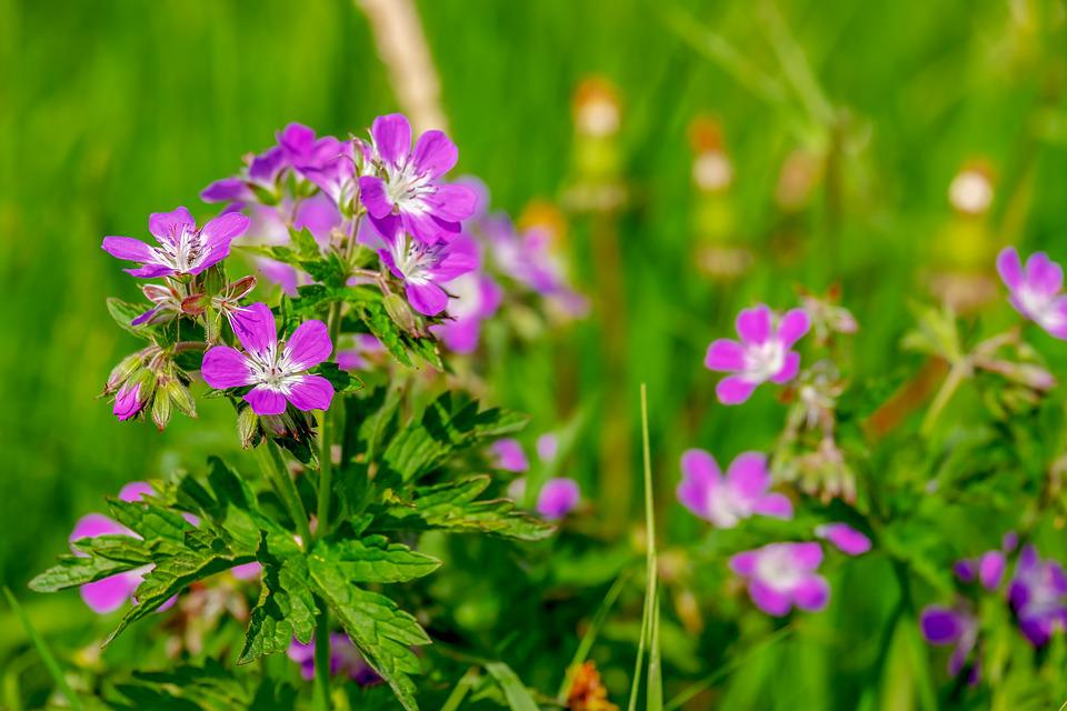 Cranesbill, Flowers, Bloom, Nature, Tender, Violet