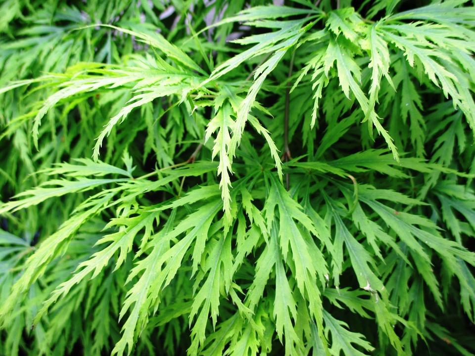 Ornamental Shrub, Green Spring Maple, Leaves, Tender