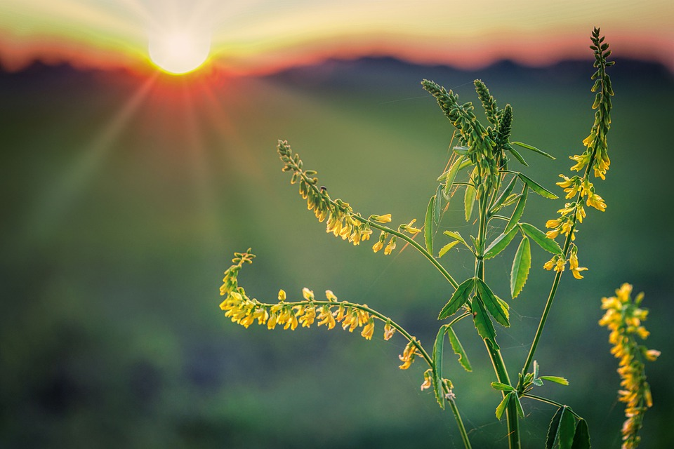 Sunset, Horizon, Sunbeam, Plant, Flower, Tender